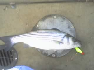 Badin lake striper